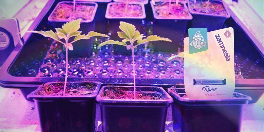 How To Grow Runtz Auto