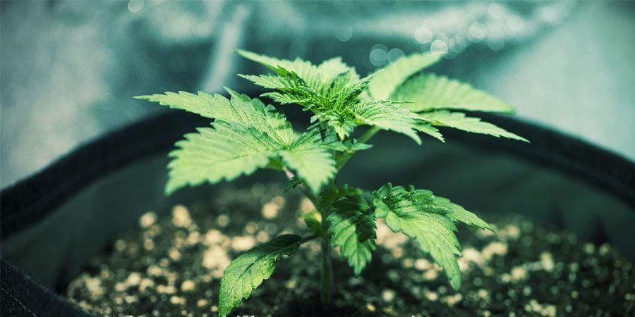 Abfluss - Produktiver Cannabispflanzen