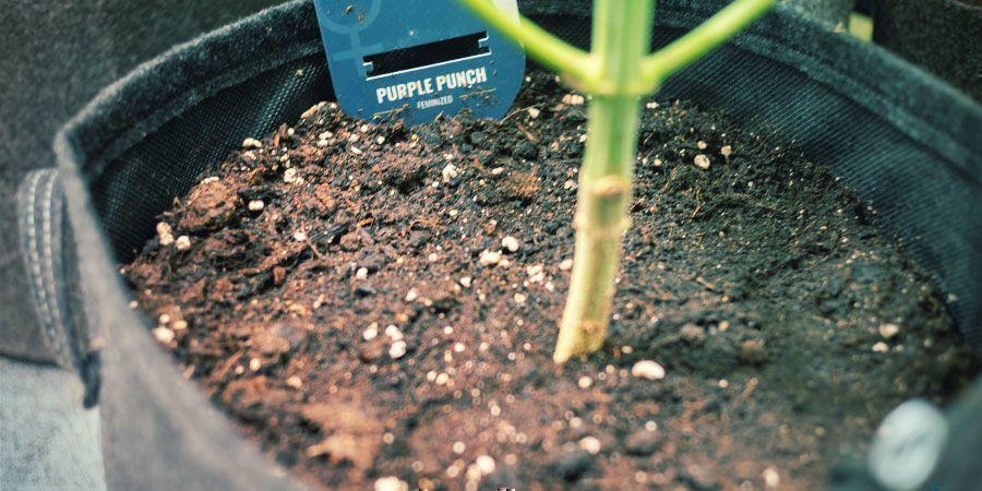 Flexibilität - Produktiver Cannabispflanzen