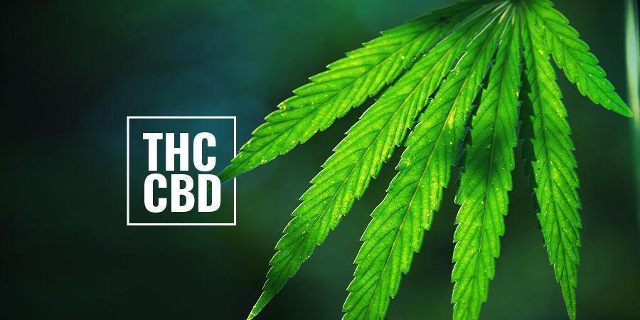 THC-/CBD-reiche Photoperiodische Cannabispflanzen