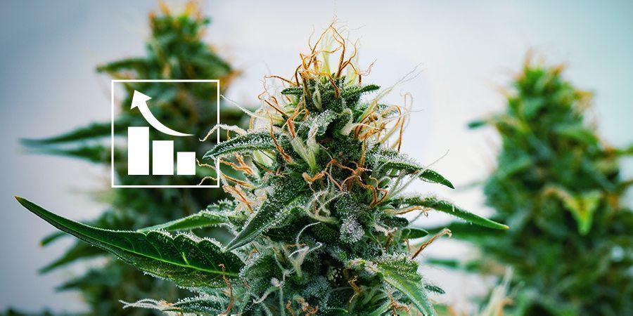 Das Ergebnis Moderner Kreuzung: Potente Cannabis Autoflowering Sorten