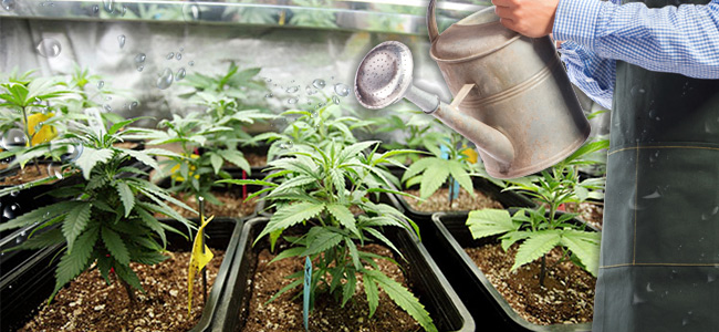 How Do You Know When The Cannabis Plant Needs Water - And How Much?