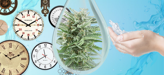 Water Temperature And Daytime Cannabis