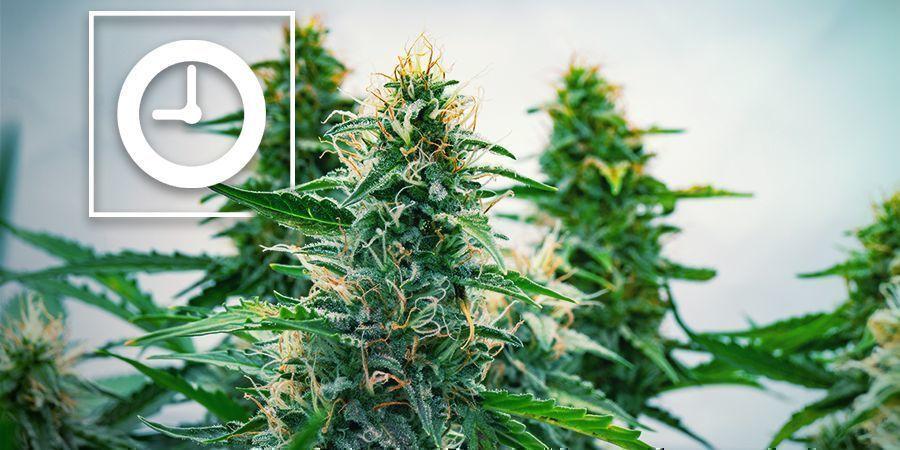 Wie Funktionieren Autoflowering Cannabispflanzen?