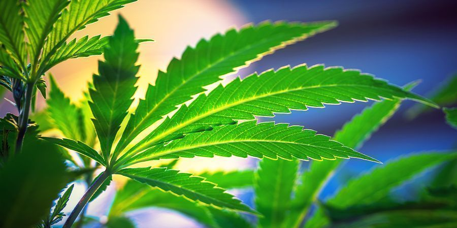 Keine Änderung Des Lichtzyklus Nötig - Autoflowering Cannabissorten