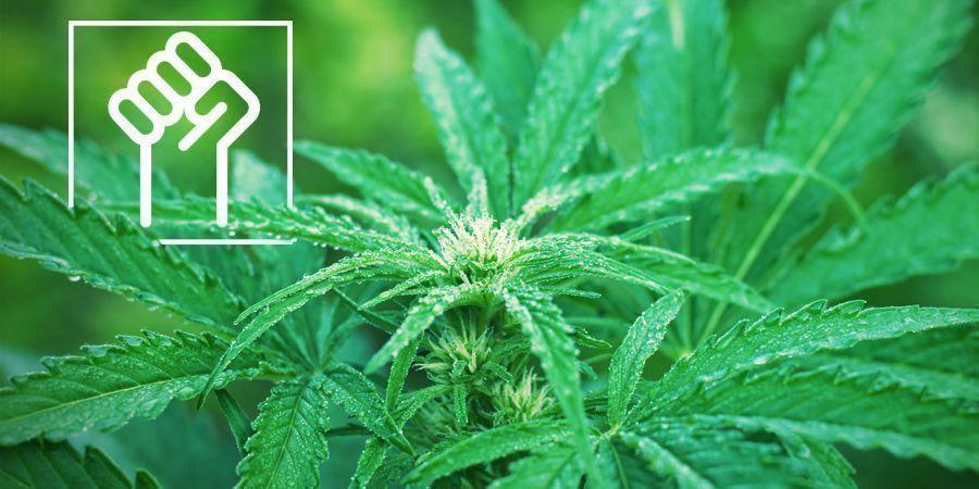 Resistant Genetics - Autoflowering Cannabis Strains