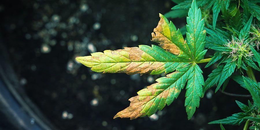 Die Symptome einer von Wurzelläusen befallenen Cannabispflanze