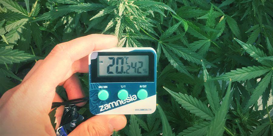 Optimale Luftfeuchtigkeitswerte für Cannabispflanzen
