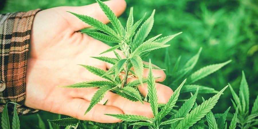 Warum ist die Luftfeuchtigkeit wichtig für Cannabis?