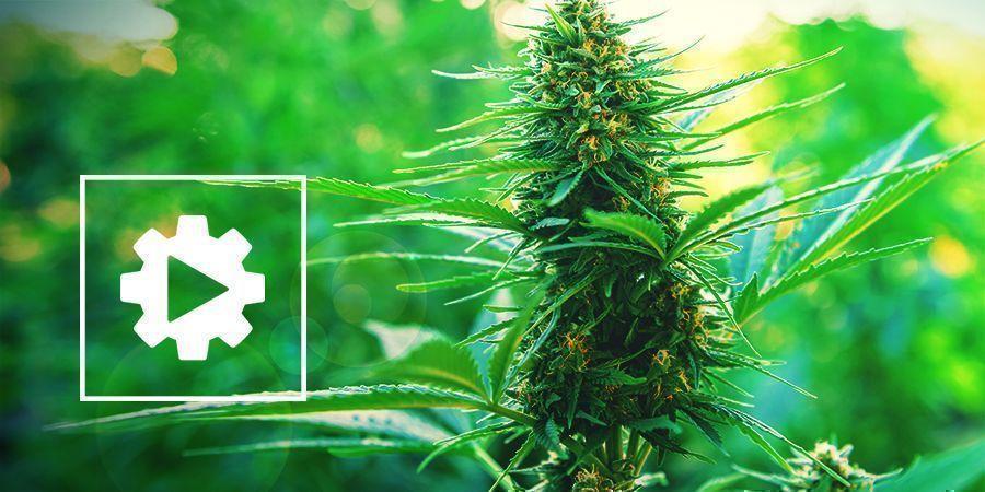 Autoflowering Cannabispflanzen besser verstehen