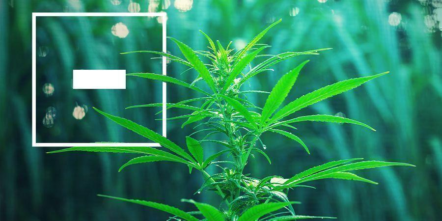 Vor- und Nachteile schnell blühender Cannabissorten