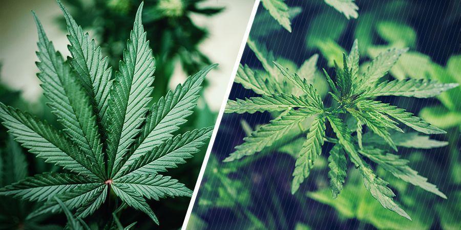 Genetik Von Cannabispflanzen