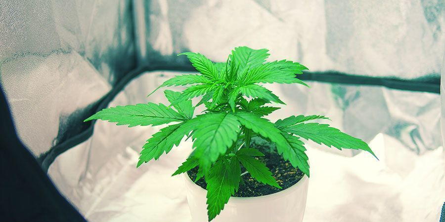Cannabis In Einem Kleinen Growzelt Anbauen