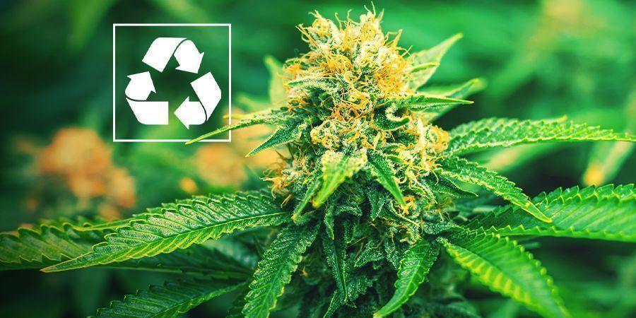 Warum Sollte Man Cannabis Mit Aquaponik Anbauen?