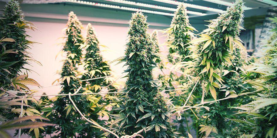 Wie man ein vertikales Anbausystem für Cannabis baut