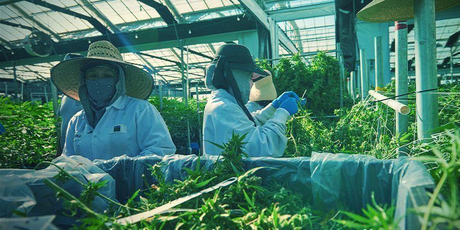Ist vertikaler Cannabisanbau die Zukunft?