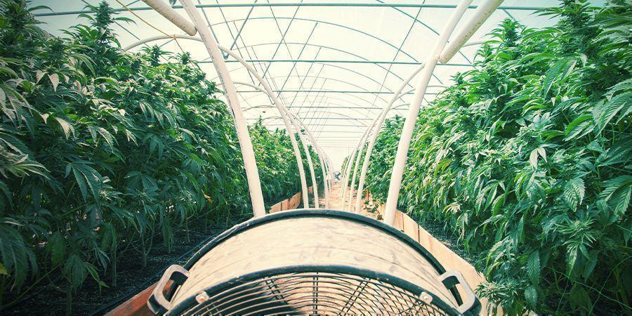 Normaler Cannabisanbau