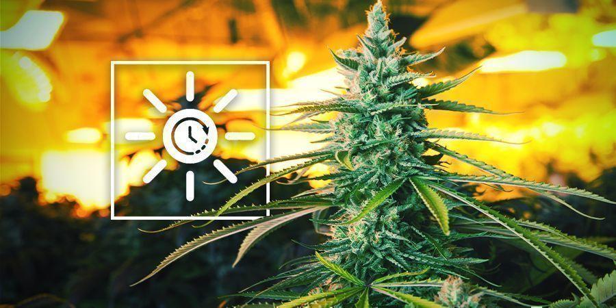 Den Lichtplan früher ändern - Vertikaler Cannabisanbau