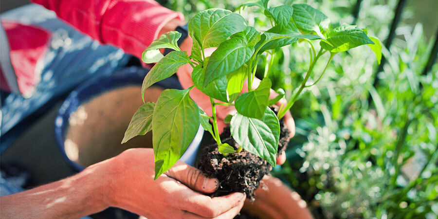 Growing Peppers For Beginners: Transplant Seedlings and Water