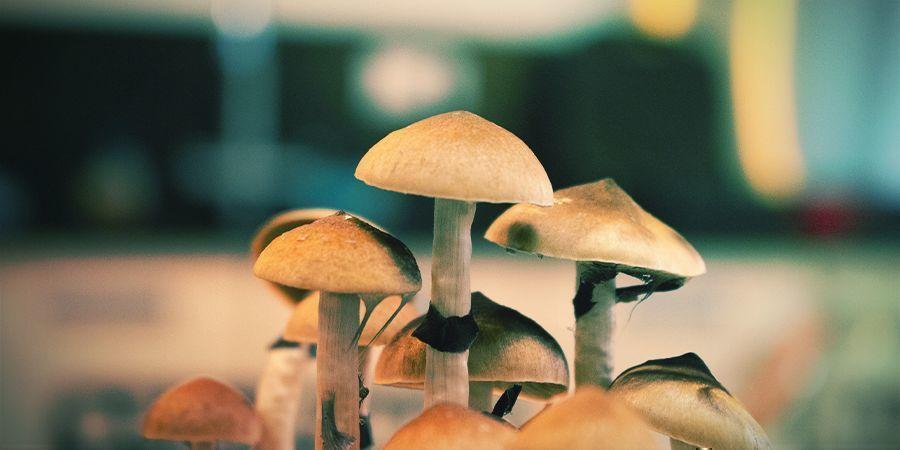 Magic Mushrooms: Ist frisch am besten?