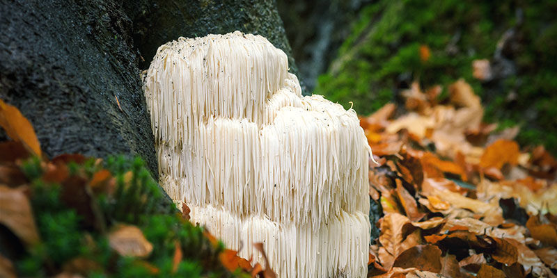 Where and How Lion's Mane Grow