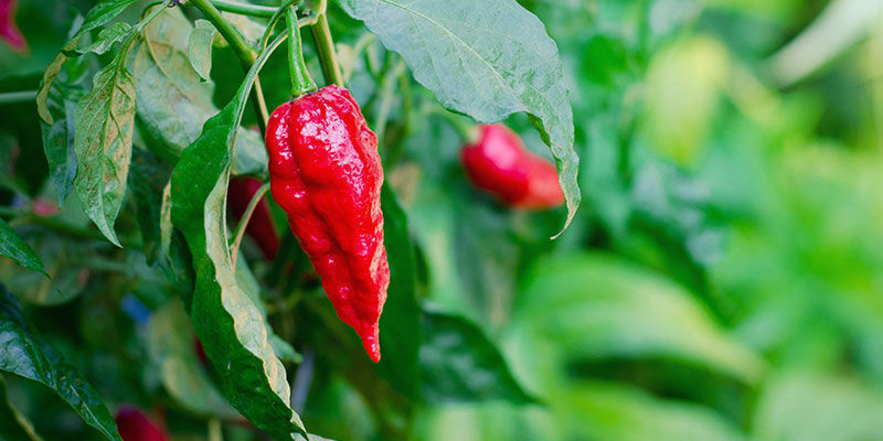 How Long Do Ghost Peppers Take To Grow?