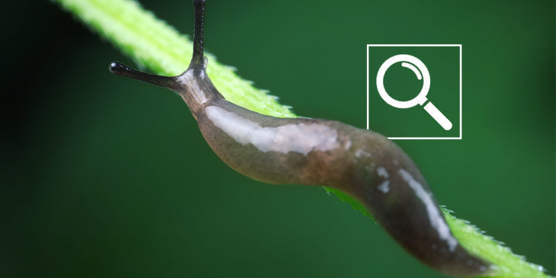 How To Spot Slugs And Snails On Cannabis Plants