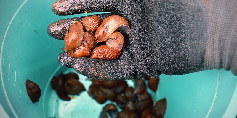 Remove Slugs And Snails Manually