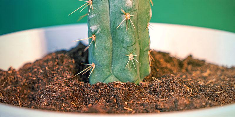 How To Grow Echinopsis Zamnesiana