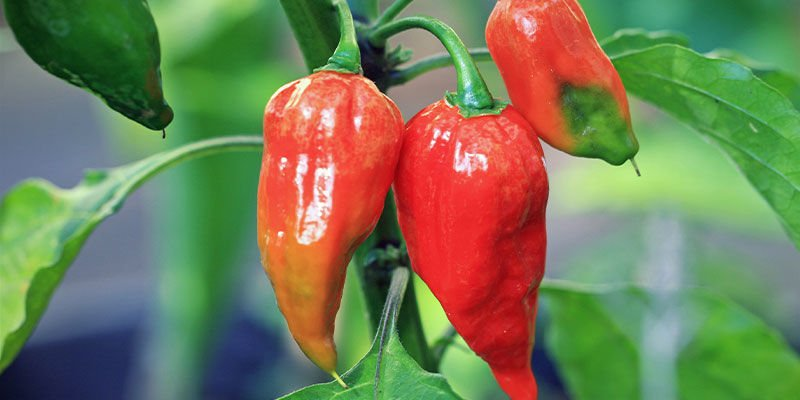 Hottest Peppers: Ghost Pepper (Bhut Jolokia)