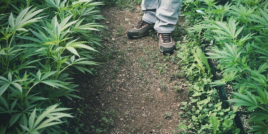 Verwendungen von Hanf: Landwirtschaft (Bioremediation)