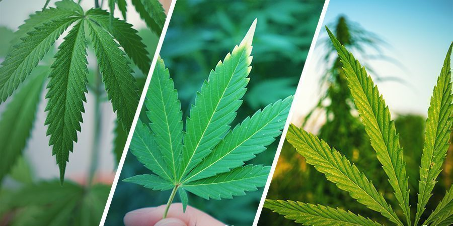 What's the Difference Between Hemp, Cannabis, and Marijuana?