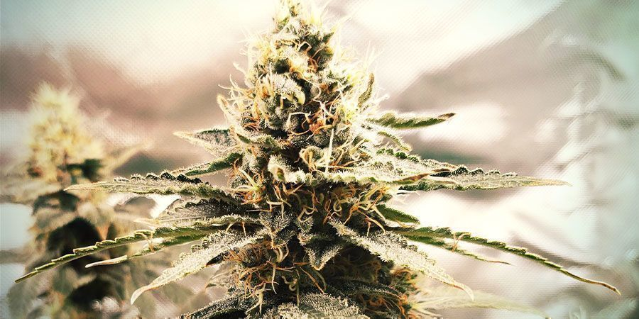 White Widow (Zamnesia Seeds)