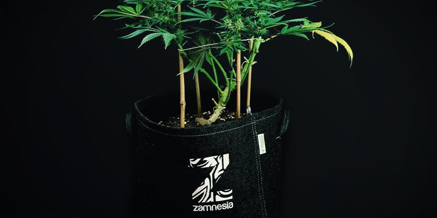 Autoflowering Cannabis Plants Don't Need to Be Transplanted
