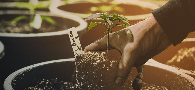 GROWING CANNABIS IS EASY