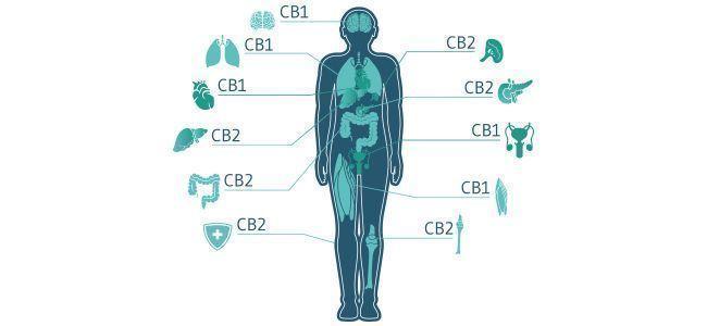 Wie passt das Endocannabinoidsystem in das Bild?