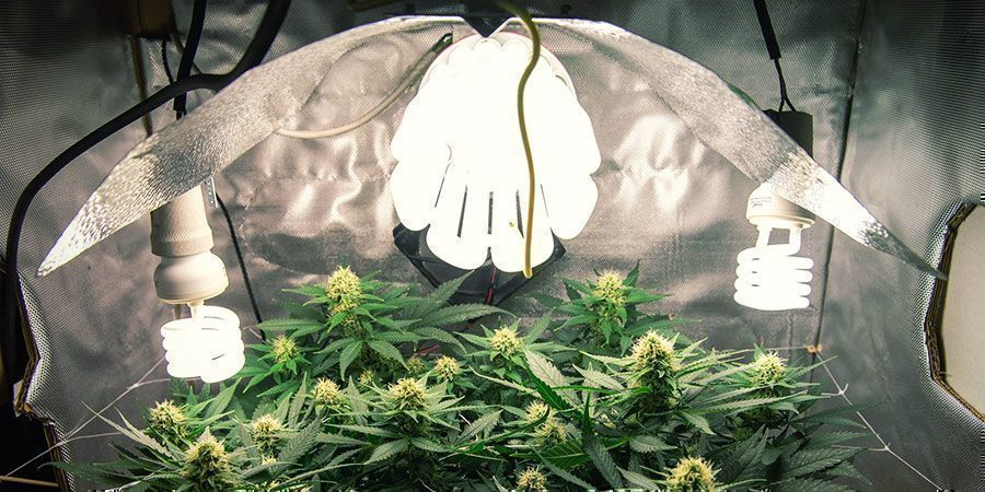 CFL-/ T5-Lampen - Cannabispflanzen