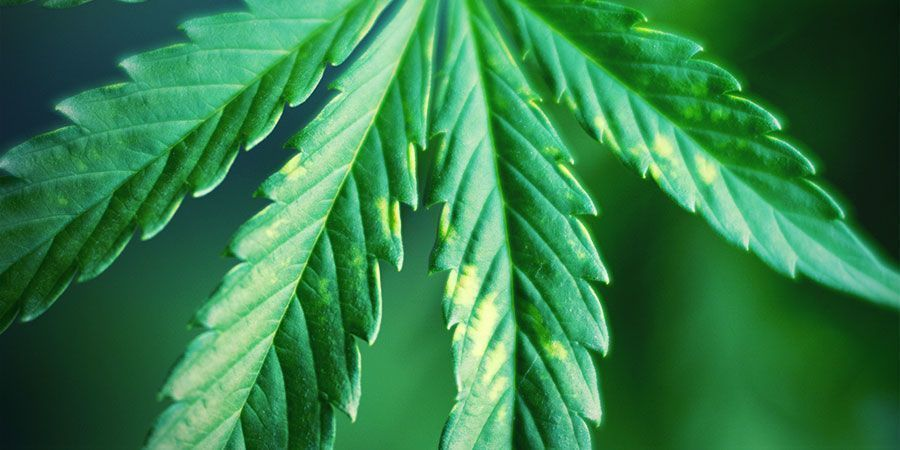 Constantly Look For Signs Of Light Stress - Cannabis Plants
