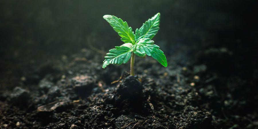 Fütterung Deiner Cannabis Sämlinge - Cannabis Sämlinge Umsorgt