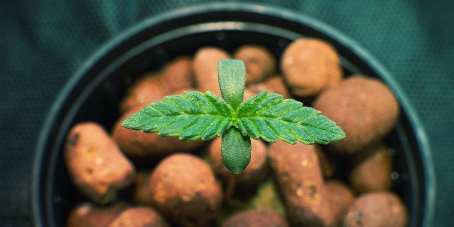GROWING CANNABIS USING HYDROPONICS