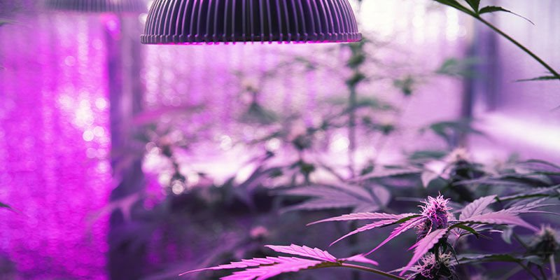 How To Give Cannabis Plants UV Light