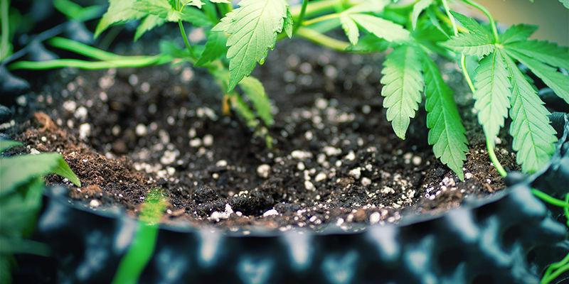 Mega Cannabis Buds: Silica With Soil