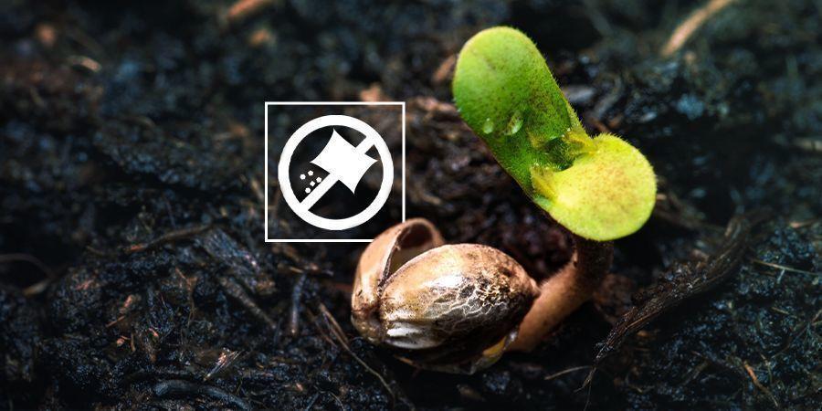 Dünge Cannabissämlinge nicht