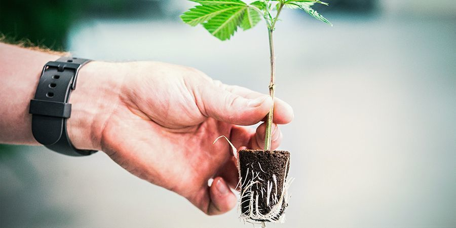 The Importance Of Healthy Cannabis Plant Roots