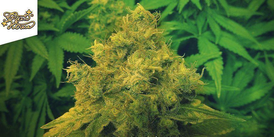 Jack Herer (Greenhouse Seeds)
