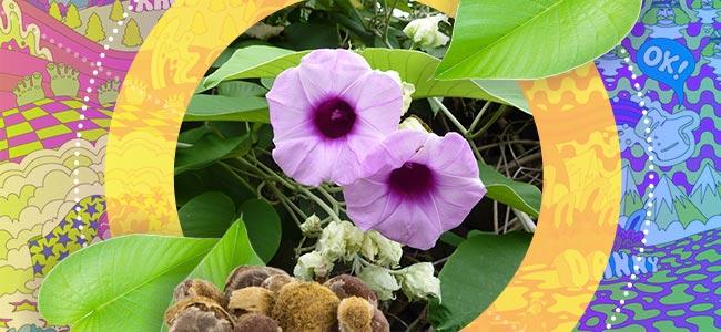 What Is Hawaiian Baby Woodrose?