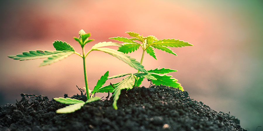 Growing Cannabis In The Ground