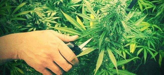 Bessere Weed: Beschneiden Erlernen