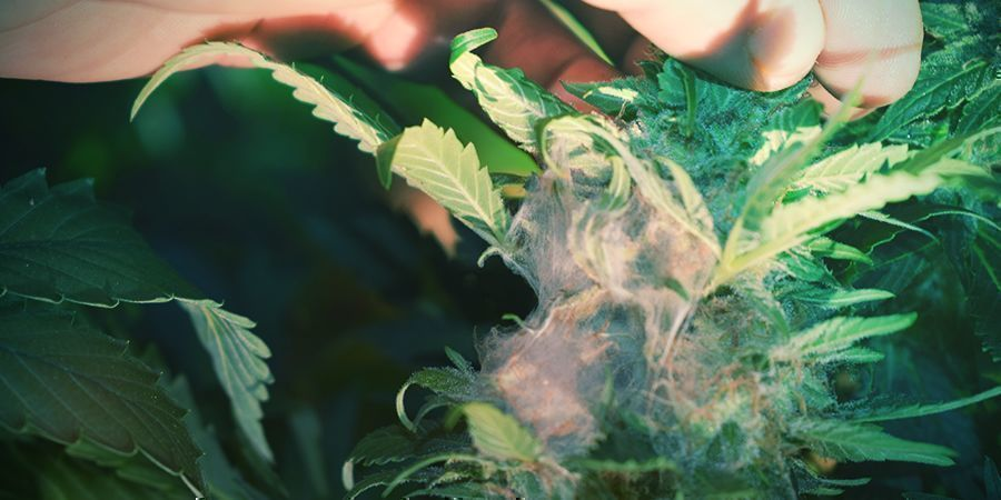 WHAT IS BUD ROT AND WHAT DOES IT LOOK LIKE?