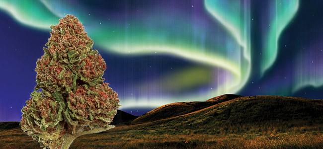 Northern Lights Zamnesia Seeds